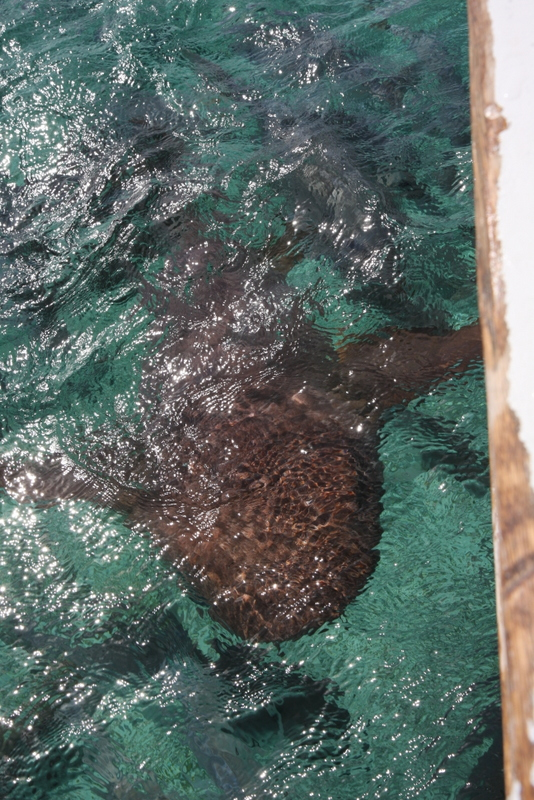 Yeah, that's a nurse shark where I'm about to jump in