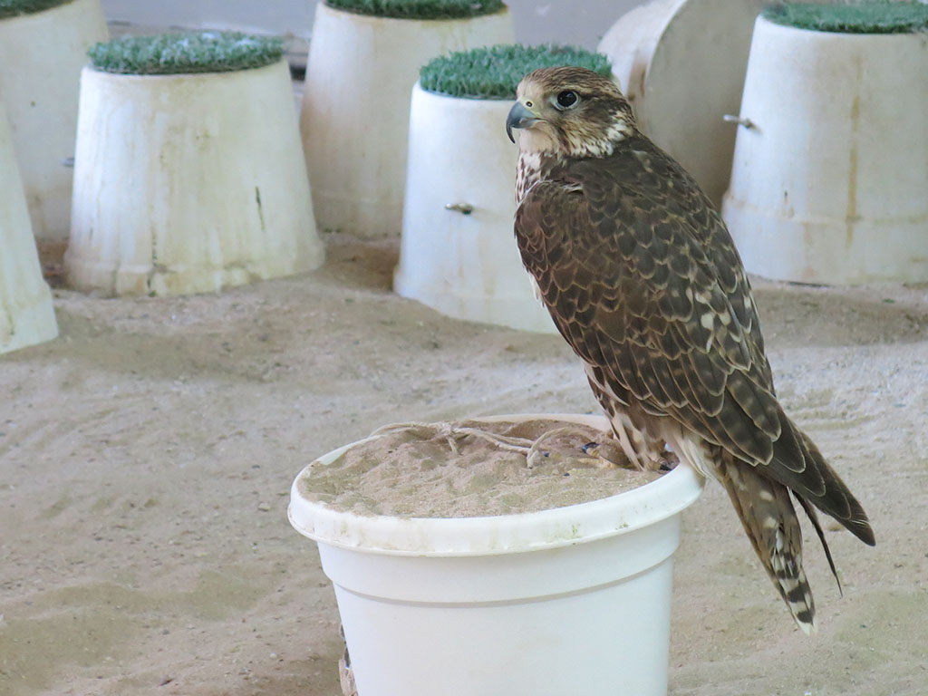 do you want to buy a falcon?
